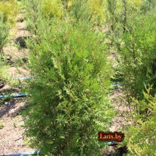 Туя западная Hoveyi (Thuja occidentalis) С15