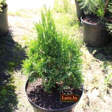 Туя западная Micky (Thuja occidentalis) С2