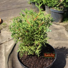 Туя западная Tiny Tim (Thuja occidentalis) C2