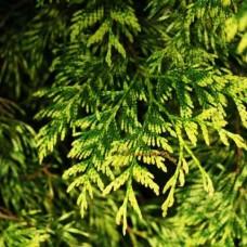 Туя складчатая Зебрина (Thuja plicata Zebrina) р9 конический сорт, 35-40см высоты