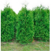 Туя западная Brabant (Thuja occidentalis) р9