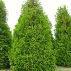 Туя западная Frieslandia (Thuja occidentalis) р9 ширококолоновидный сорт, 30-35 см высоты