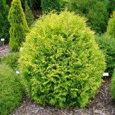 Туя западная Golden Globe (Thuja occidentalis) С3 шаровидная крона, d 20-25 см