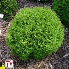 Туя западная Hoseri (Thuja occidentalis) С5 сорт шаровидной формы